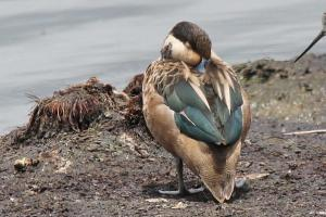 Hottentot Teal - teal in colour