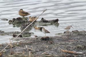 Hottentot Teals with Wood and Marsh Sandpipers