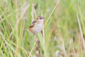 4 Western Shores, Isimangaliso. Thought to be a Black-backed Cisticola
