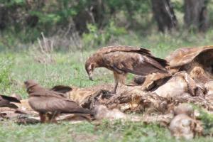 Palm-nut Vulture - juvenile