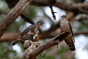 Red-chested Cuckoos - male and female (juvenile) presumeably in courtship