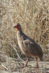 2 Red-necked /Swainsons Spurfowls -hybrids  - Satara