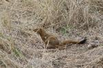 Slender Mongoose with his snail
