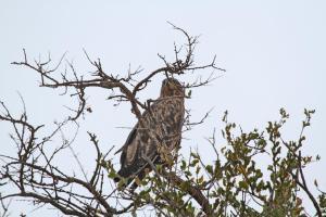 9 Tawny Eagle - is it, Tsendze