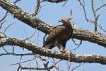 3 Tawny Eagle - Pafuri