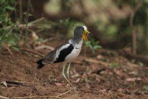 White-crowned Lapwing showing its spurs