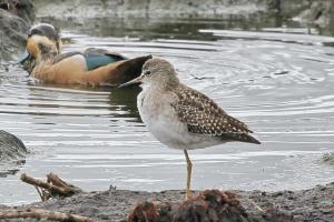 Wood Sandpiper with Hottentot Teal