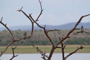 Amur Falcons - male and female