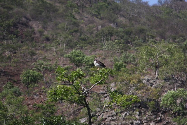 Augur Buzzard in Mutare