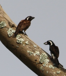White-eared Barbet - Mike Caine