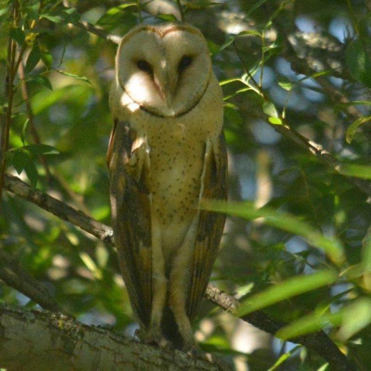 Barn Owl - Decklan
