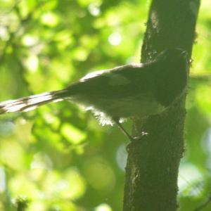 Blue-mantled Crested Flycatcher - Decklan