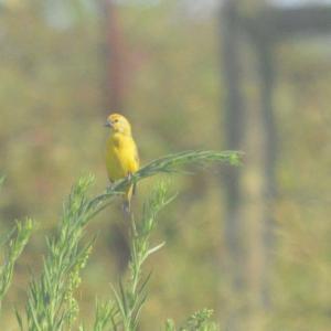 Cuckoo Finch- Decklan
