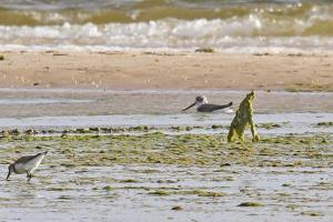Common Greenshank - long-billed