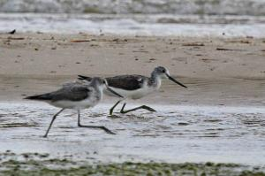 Common Greenshanks in a hurry