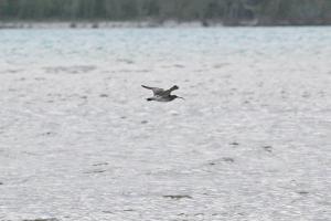 Common Whimbrel in flight