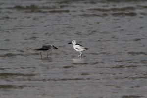 Crab Plovers - adult and simpering juvenile
