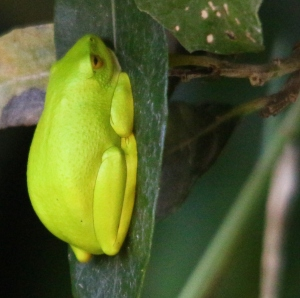 Frog - Tree or Painted Reed - Mike Caine