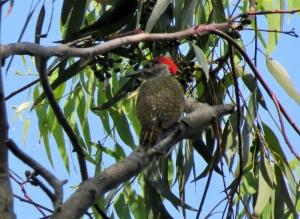 Golden-tailed Woodpecker - Penny de Vries