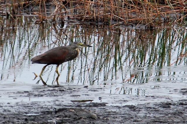 Greenbacked Heron seen in Rio Savane
