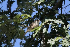 House Sparrow - juvenile
