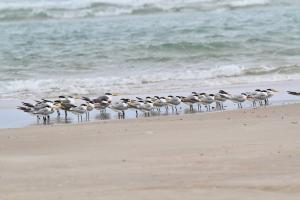 Lesser Crested Terns and a few Swift Terns