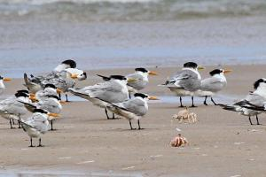 Lesser crested Terns being chased by crabs