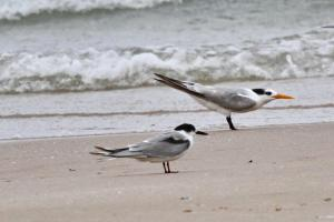 Little and Lesser Crested Terns