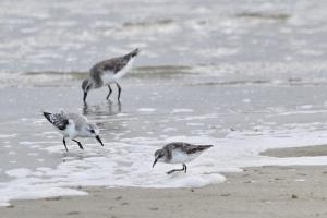 Little Stint, Sanderling and Curlew Sandpiper