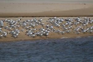Mainly Lesser Crested terns