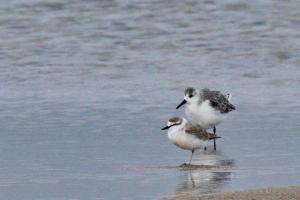Sand and White-fronted Plovers