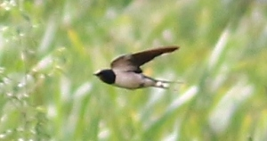 Barn Swallow - Mike Caine
