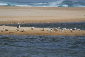 Terns - Swift, Lesser Crested, Common and Little