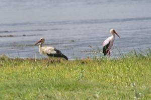 White and Yellow-billed Storks