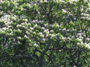 Cape Chestnut - Calodendrum capense