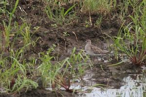 Wood Sandpiper - long eyebrow and rather more browny than grey.
