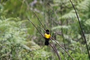 Yellow Bishop - male