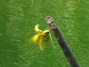 Yellow Weaver - Penny de Vries