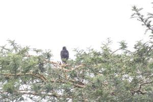 Melanistic Black Sparrowhawk