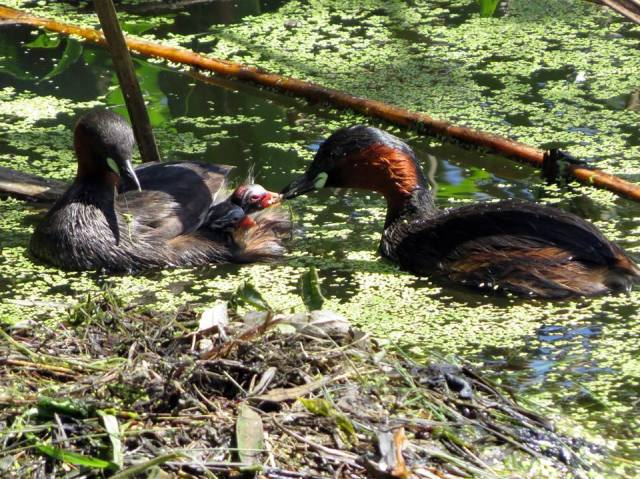 Little Grebes and their chicks piggy-backing