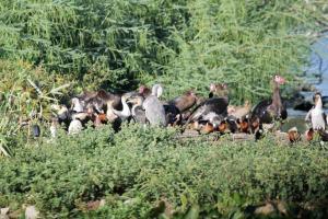 A jumble of Geese, Cormorants, Ducks, Herons