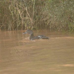 African Black Duck - Decklan