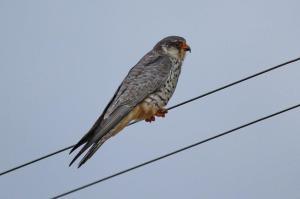 Amur Falcon - female