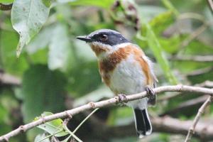 Cape Batis - female