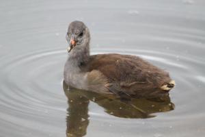 Common Moorhen chick