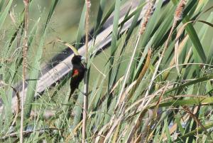 Fan-tailed Widowbird