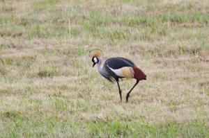Grey-crowned Crane hobbling.