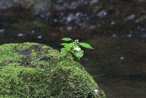 Rock moss plant