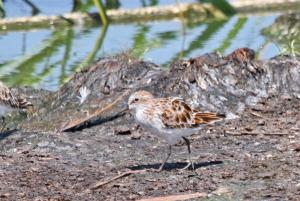 Little Stint changing plumage