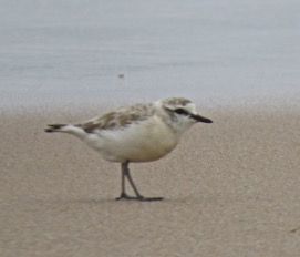 White-fronted Plover - Rex